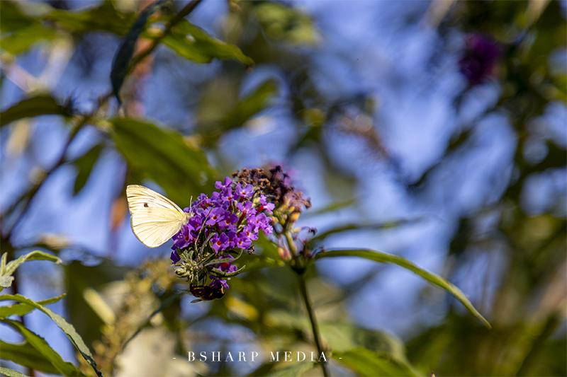 De vlinder het Koolwitje drinkt nectar uit een bloem