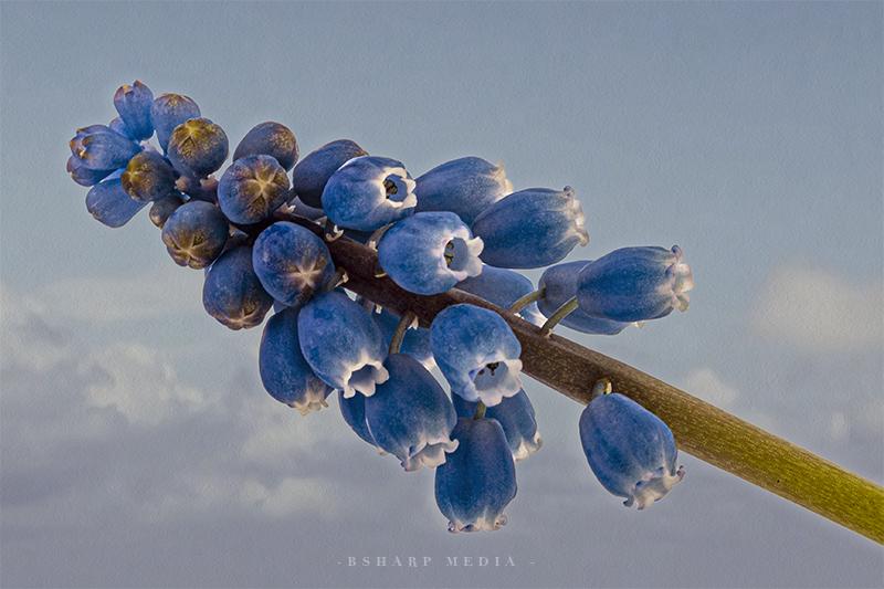 Blauwe druifjes tegen een bewolkte achtergrond